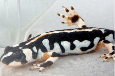 kaiser's spotted newt