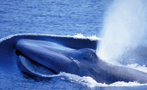 Blue whale, courtesy IFAW