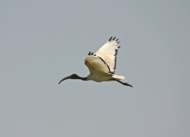 Sacred Ibis - Photo Courtesy of Nature Iraq/CIMI/BirdLife