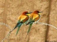 Bee Eaters in Iraq Copyright 2006 Laurie Haak