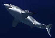 White Shark courtesy of TOPP