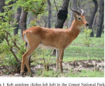 kob-antelope.png