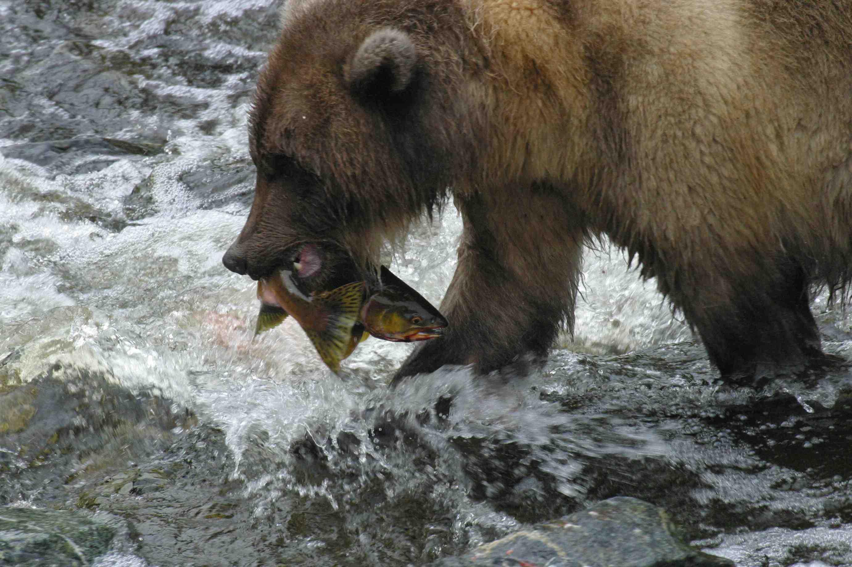 Fish farms pushing wild salmon to extinction stephen for Bear catching fish