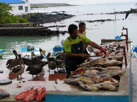 yellow-fin-tuna-catch-galapagos.jpg