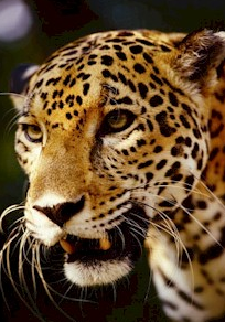 jaguar-defenders-of-wildlife.png