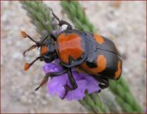 american-burying-beetle-doug-backlund-aol.jpeg