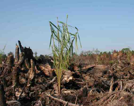 oil-palm-seedling-in-burned-peat-forest-wetland-international.jpg