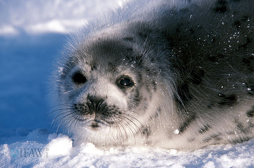 an analysis of the issue of seal hunt in newfoundland True seals (phocidae) are large marine mammals that have a rotund, fusiform shaped body with small fore flippers and larger rear flippers  issues arts, music.