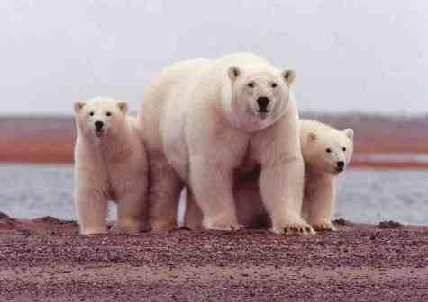 polarbear-w-cubs-usfws-sml.jpg