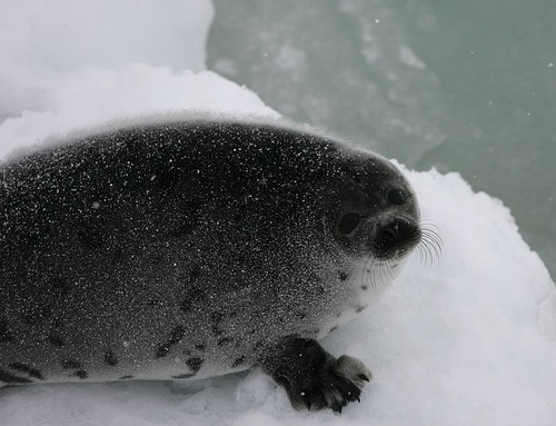 young-harp-seal-ifaw.jpg