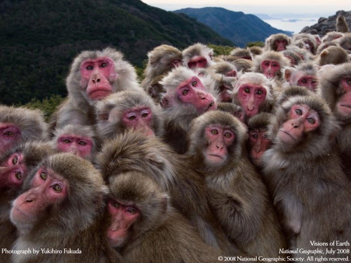 japanese-macaques-huddle-for-warmth