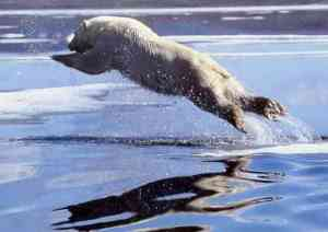polar-bear-leap-wwwfirstpeopleus-sml