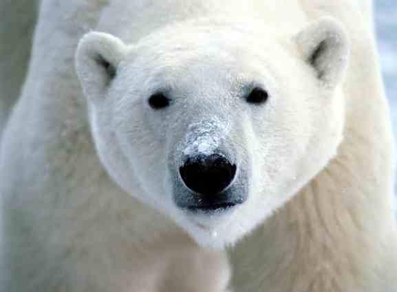 polar-bear-snout-wwwfirstpeopleus-sml