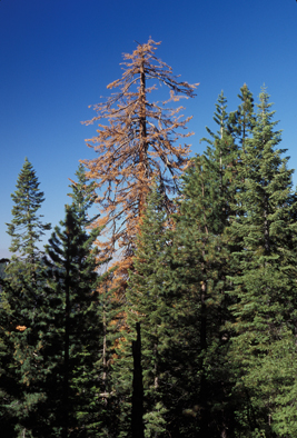 sugar-pine-dying-from-bark-beetle-attack-in-yosemite-national-parkimage-courtesy-of-jerry-franklin