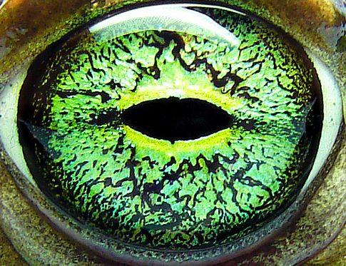 frog eyes game